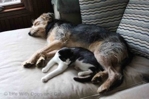 Dog and cat snuggling together.