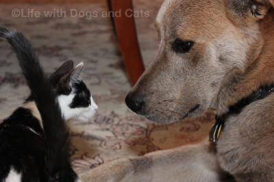 As kitten, Calvin was smaller than Jasper's head